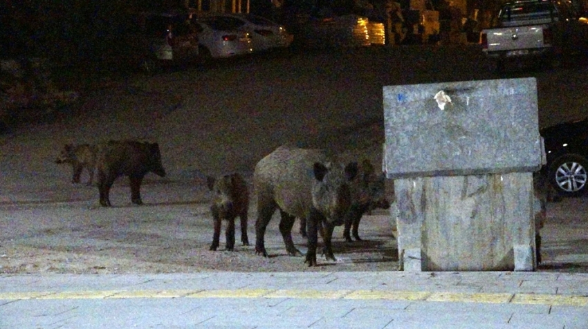 Yaban domuzları şehir merkezine indi