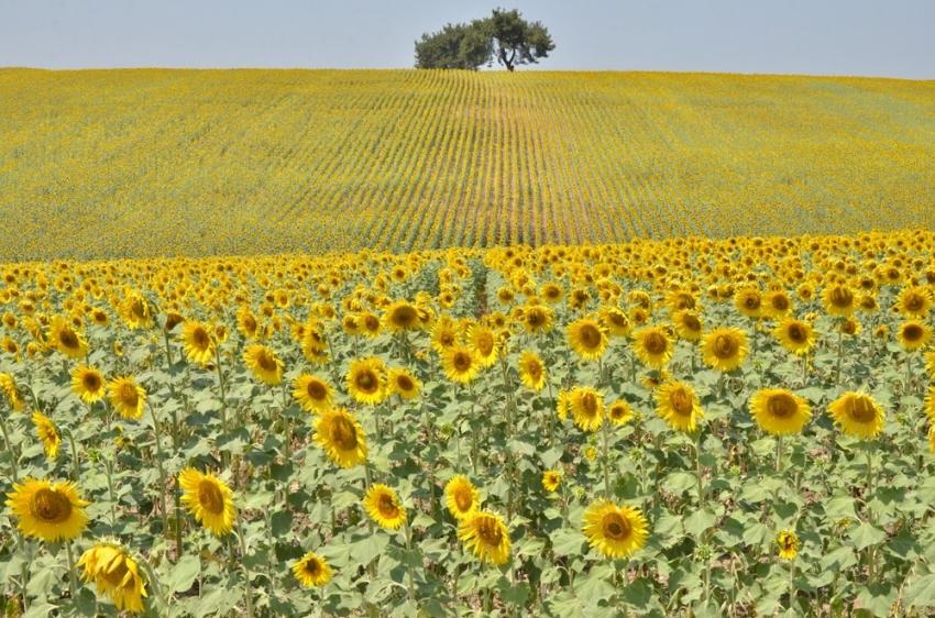 Buğday yerini 'sarı altın'a bırakıyor