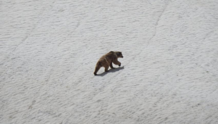 Kış uykusundan uyanarak doğaya çıkan ayı kameraya yansıdı