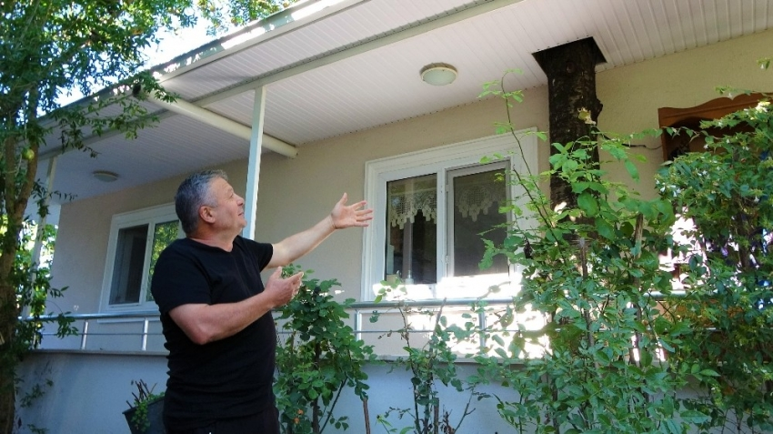 Baba mirası ağacı kesmeye kıyamadı, 8 yıldır evinin içerisinde ağaçla yaşıyor