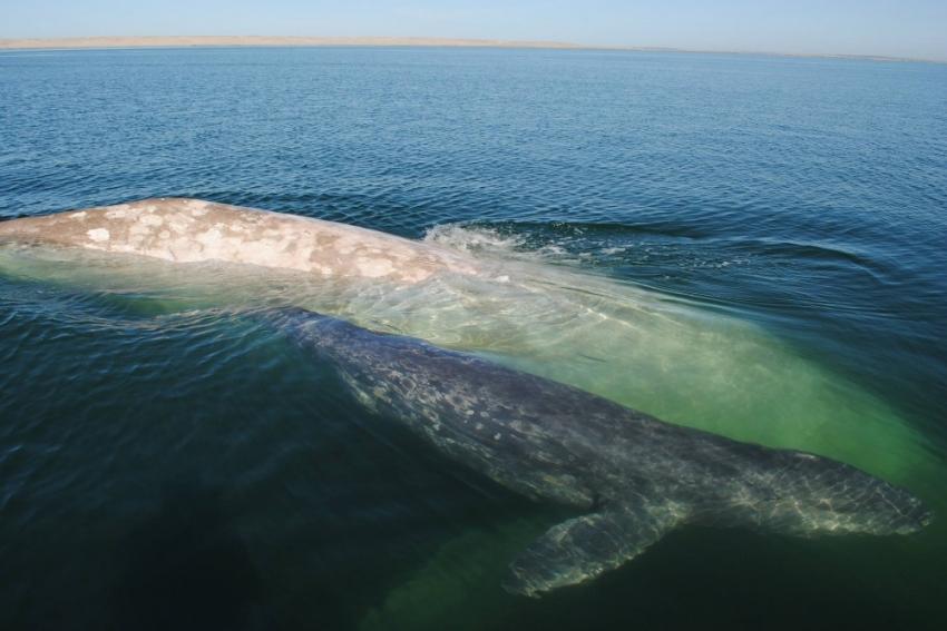 Balinalar şarkıları insanlar gibi ezberliyor