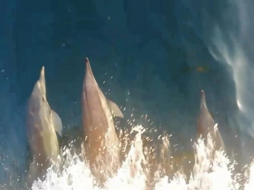 Sevimli yunuslar balıkçı teknesiyle yarıştı