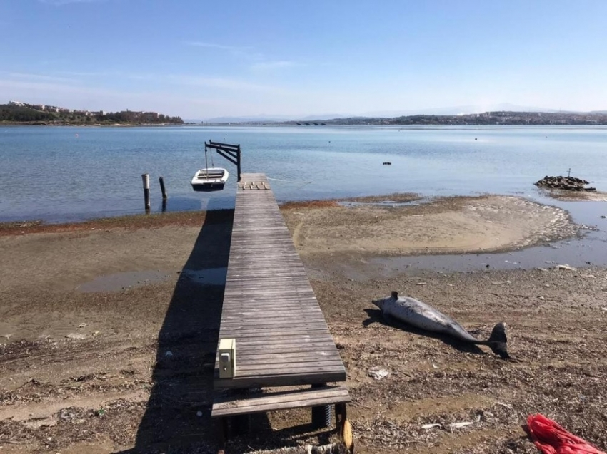 Ayvalık'ta karaya vurmuş yunus balığı bulundu