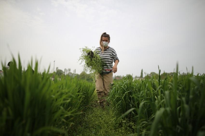 Bursa'da kimyasal ve suni gübre kullanmadan üretilen buğdaylar çiftçiye örnek oluyor