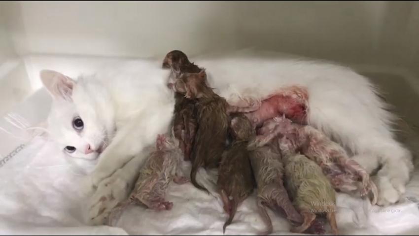 Yavru kediler sezeryanla kurtarıldı