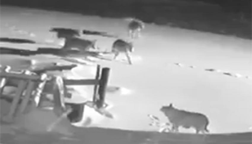 Köye inen kurt sürüsü, 2 köpeği telef etti