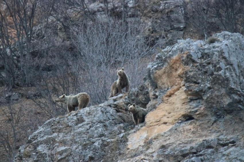 Kış uykusundan uyanan anne ve yavru ayılar görüntülendi