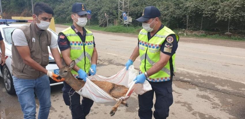 Yaralı olarak bulunan yavru karaca korumaya alındı