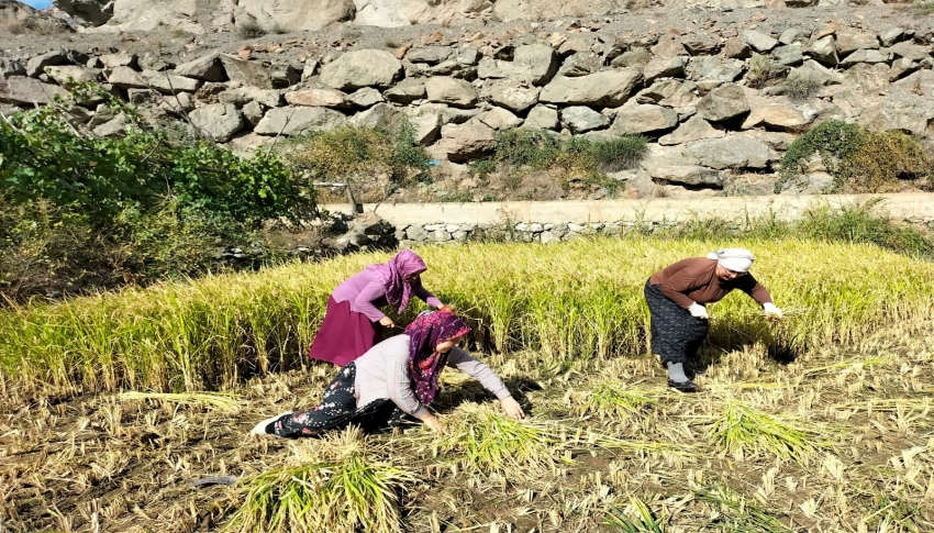 Sular altında kalacak köyde son çeltik hasadı başladı
