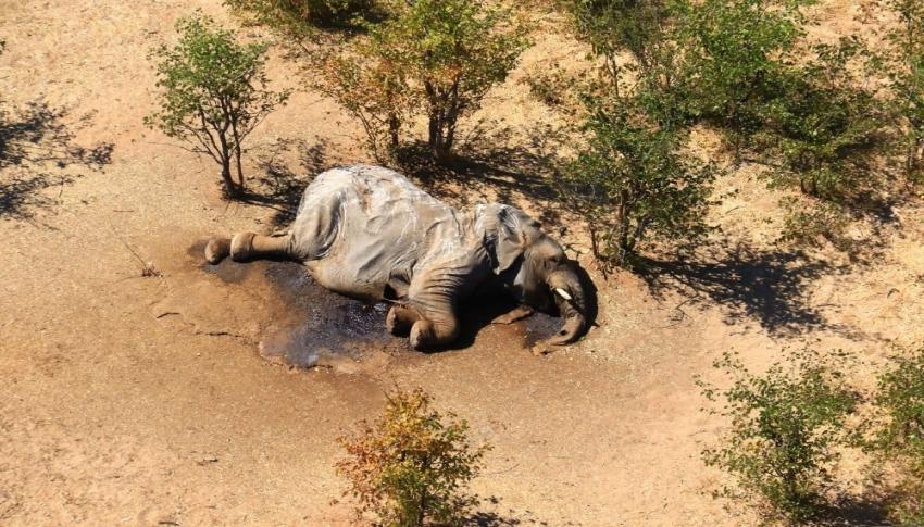 Gizemli fil ölümleri aydınlatılıyor