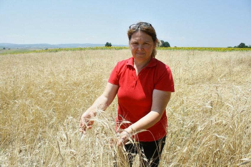 Bursa'da radyasyona dayanıklı buğday üretiyor