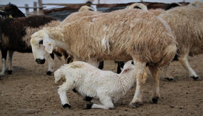 Koyun ve kuzuların buluşması renkli görüntülere sahne oldu