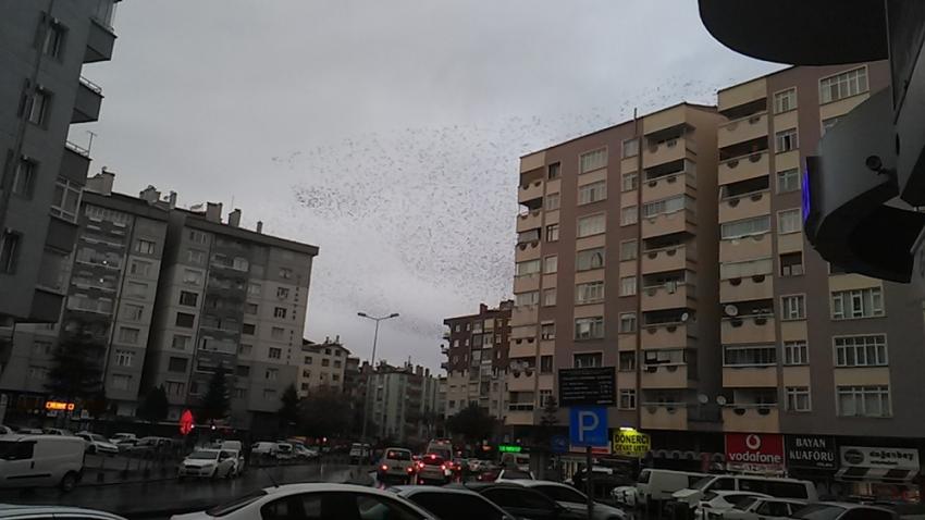 Sığırcık kuşlarının gökyüzündeki dansı mest etti