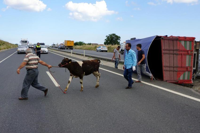 Büyükbaş hayvan taşıyan kamyonet devrildi