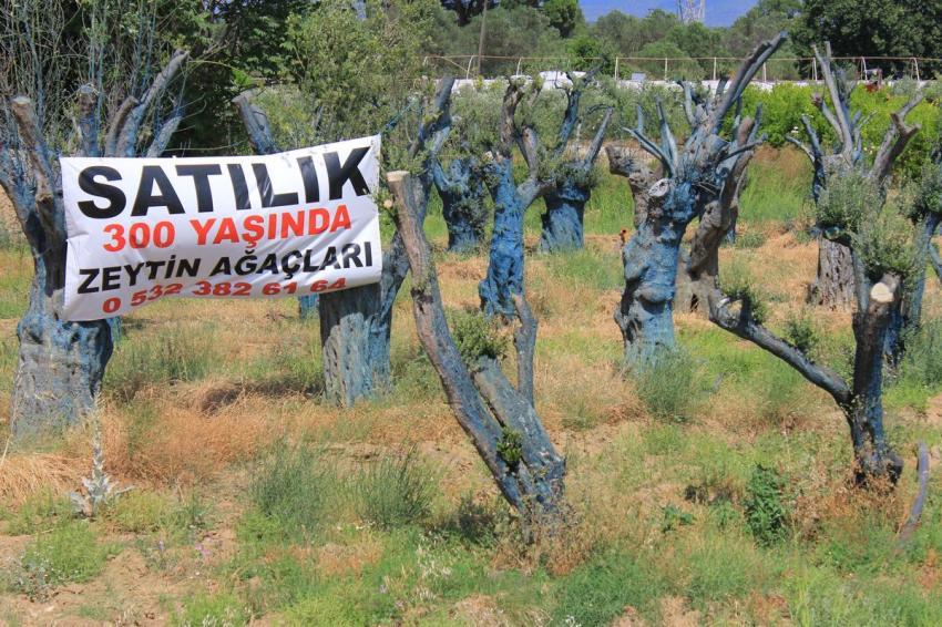 300 yıllık zeytin ağacı 5 bin TL