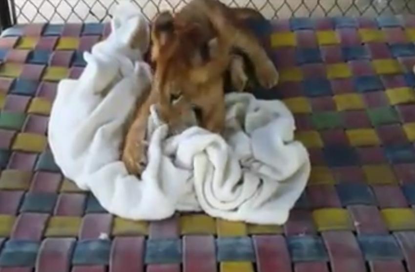 Bu aslan battaniyesiz uyuyamıyor!