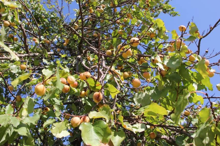 Eylülde meyve verdi
