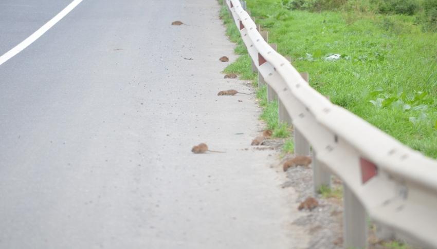 Bunlar da yol basan fareler