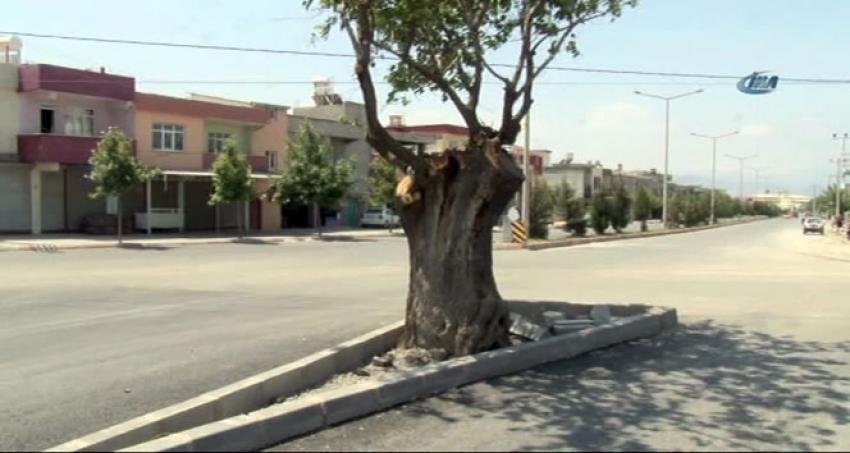 Asırlık ağaç için yol ikiye bölündü
