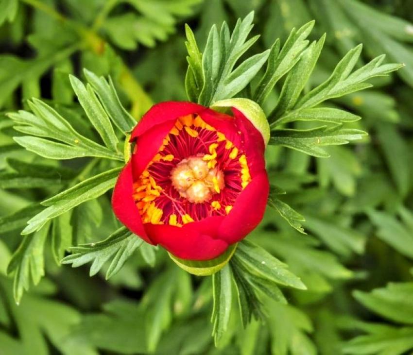 Bursa'da 'Ayı gülü' çiçek açtı