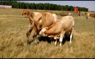 Damızlık alınan boğanın süt emmesi sahibini şaşırttı