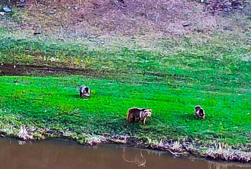 Kış uykusundan uyanan Boz ayılar...
