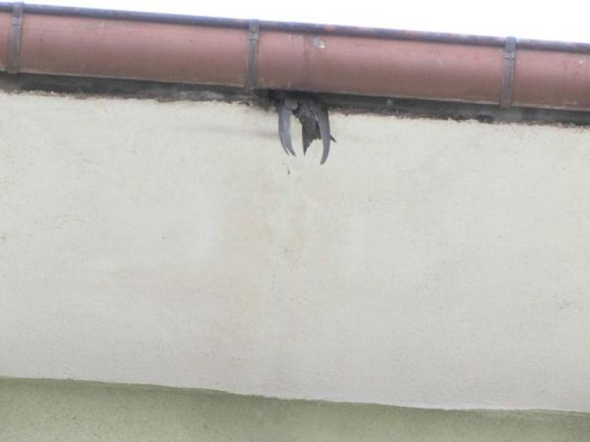Cami çatısında sıkışan kırlangıcı itfaiye kurtardı