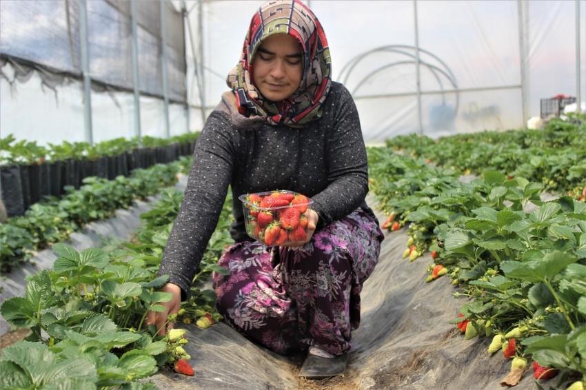 Bursa'da 2 ay önce hasat etti 3 katı fiyata satıyor
