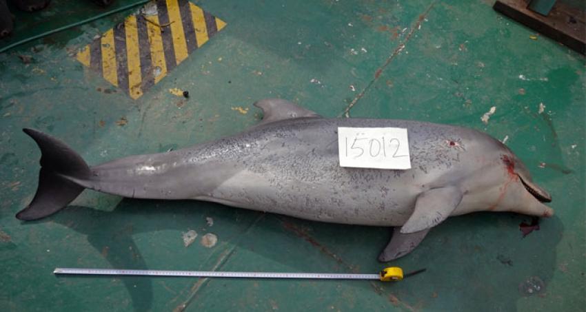 Yunus balığı dehşeti