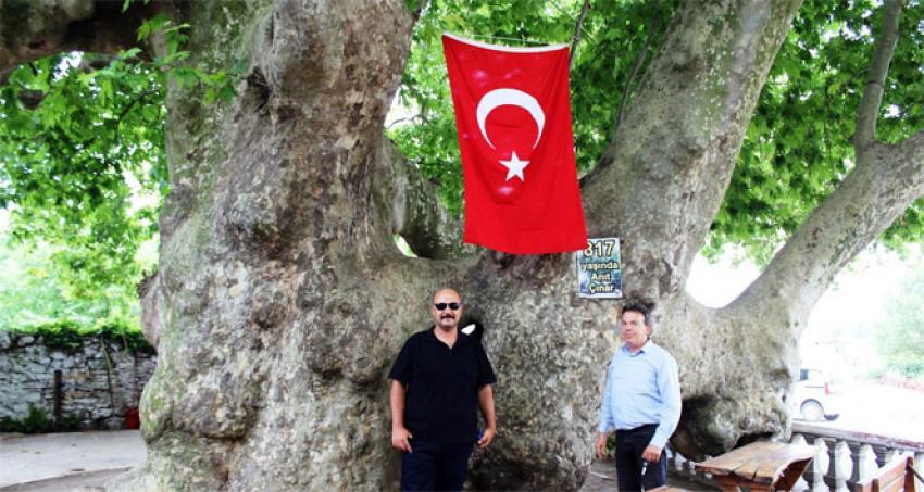 Bu ağaç Osmanlı İmparatorluğu'ndan daha yaşlı
