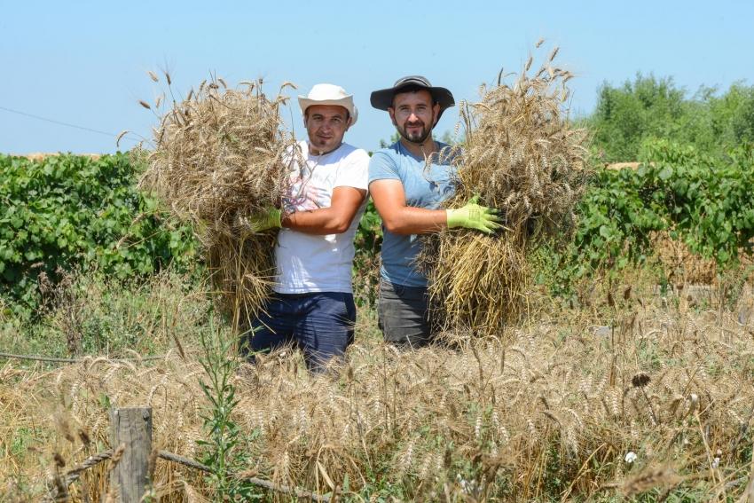 Nilüfer'de ekolojik buğdayda hasat dönemi