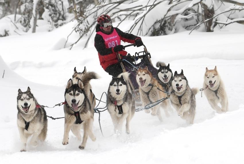 Avustralya'da 29. köpek kızak yarışları