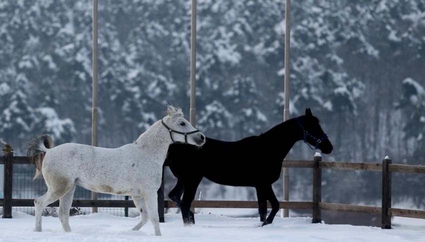 Bursa'da atların kar banyosu keyfi