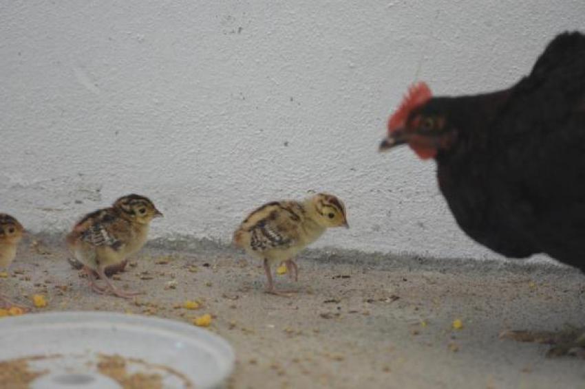 Hayatta kalmayı tavuklar öğretiyor