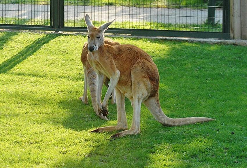 Kanguruların çoğu solakmış