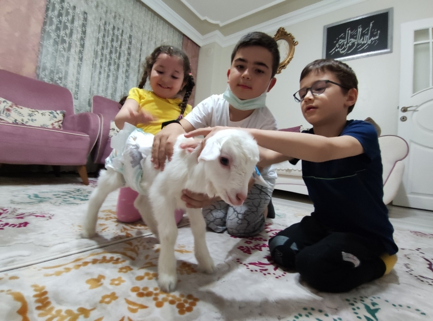 Bursa'da altını bağlayıp evlerde çocuk gibi oğlak bakıyorlar