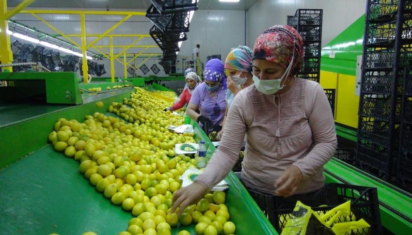 Balkan ülkelerine limon ihracatı başladı
