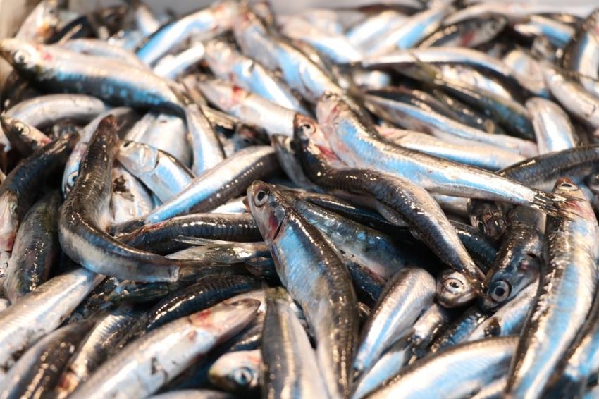 Yasak kalktı, tezgahlar balıkla dolmaya başladı