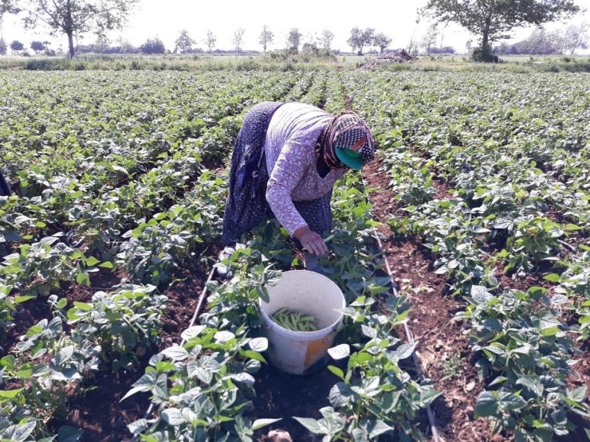 Payas'ta taze fasulye hasadına başlandı