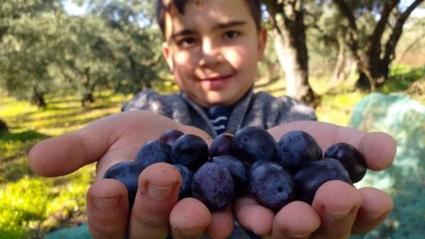 Bursalılara zeytinin nasıl kurulacağını öğretiyorlar!