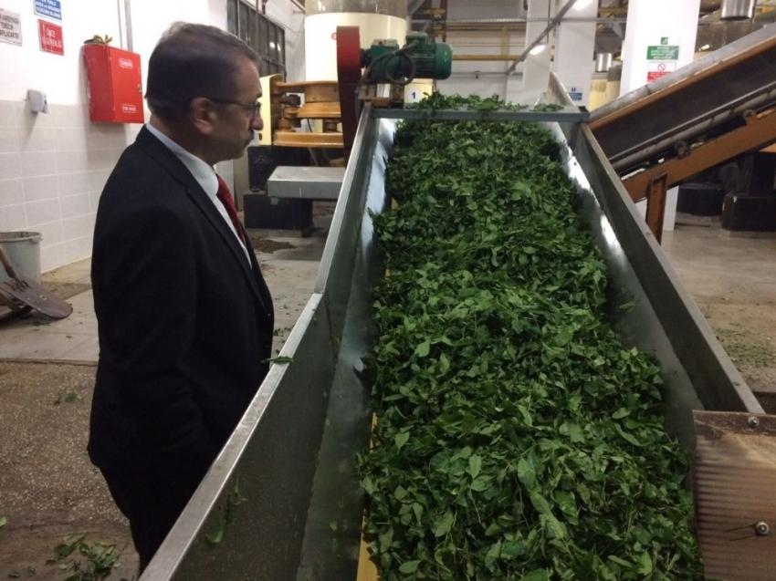 3 haftada 64 bin 300 ton yaş çay alındı