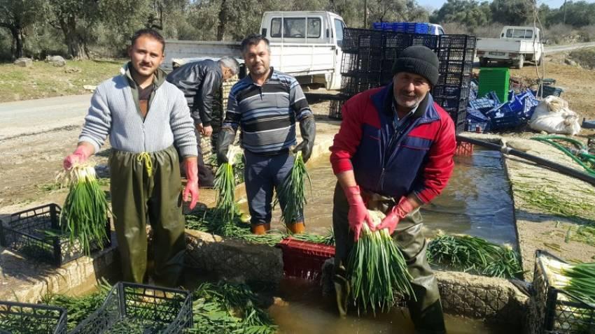 Doğal antibiyotik yeşil soğan