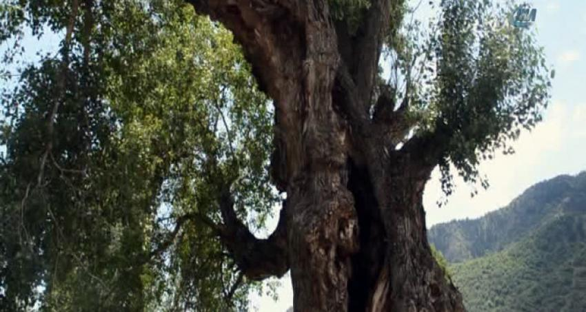 Dünyanın en yaşlı kavak ağacı Türkiye'de!