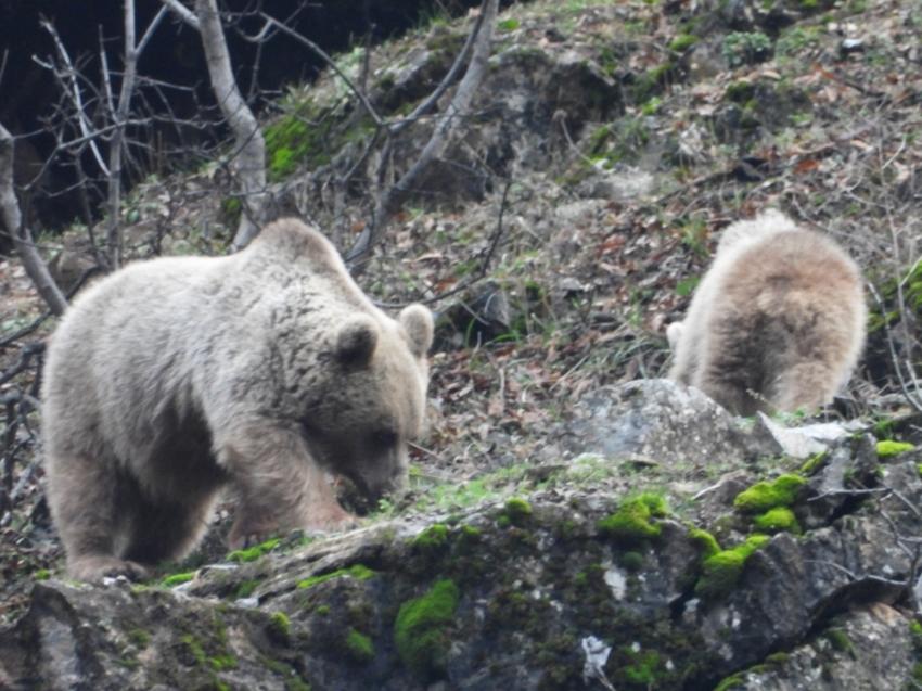 Kış uykusuna yatmayan ayı ve yavrusu
