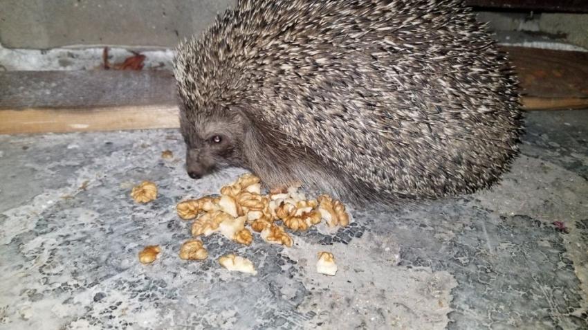 Aç kirpiler karınlarını mesken tuttukları evde bisküvi ve cevizle doyuruyor