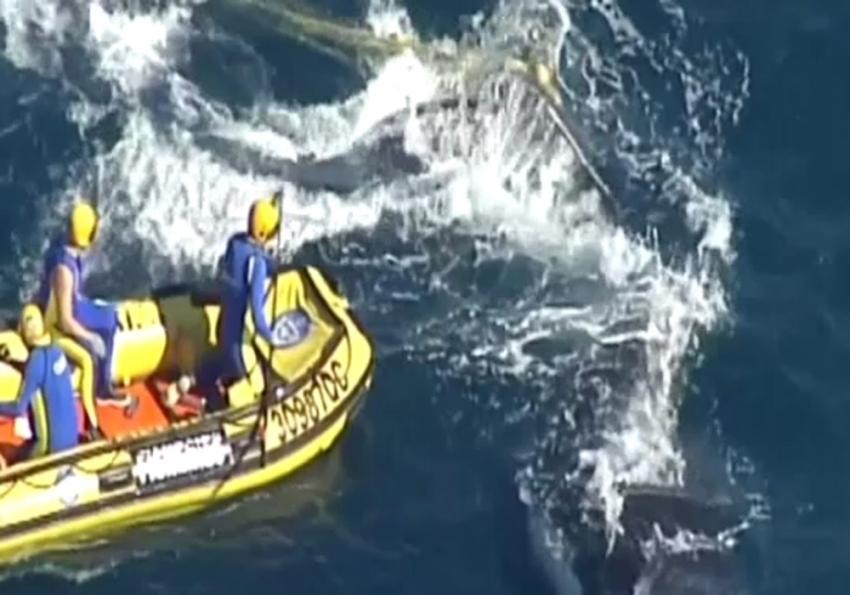 Kambur balina, köpek balığı ağlarından böyle kurtarıldı