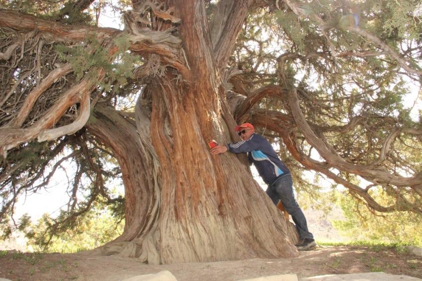 9 asırlık ardıç ağacı zamana meydan okuyor - Bursa.com