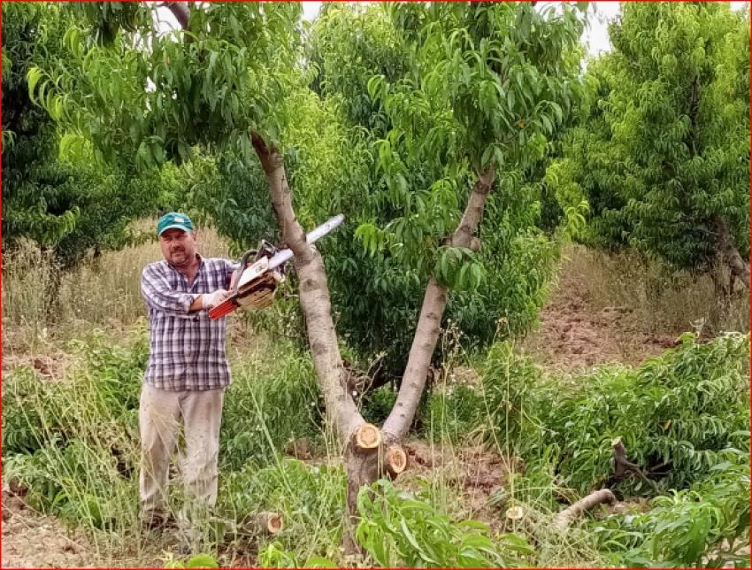 Bursa'da kesilen meyve ağacı sayısı 60 bine ulaştı, o anlar havadan görüntülendi