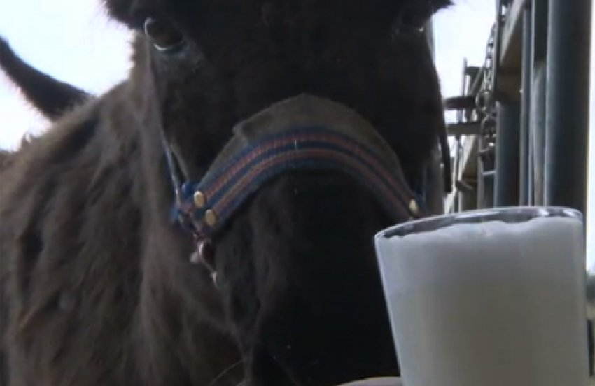 Eşek sütü kıymete bindi, işte eşek sütünün faydaları