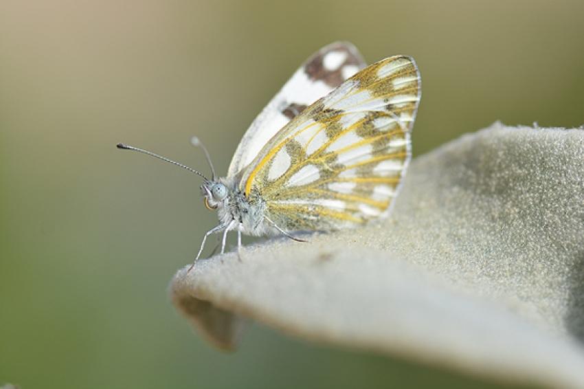 Görüntülediği kelebeğe memleketinin ismini verdi